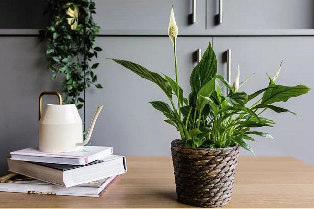 Ideas regalos naturales, planta lirio paz